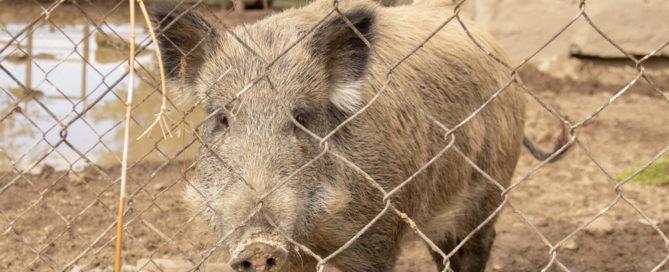 Anspruch des Mieters auf Einfriedung der Mietsache bei abstrakter Gefahr durch Wildschweine?
